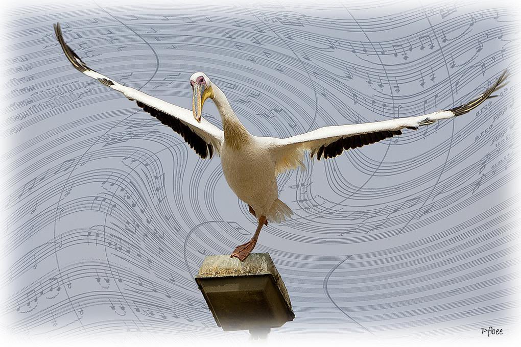 Melodie Pelican 3