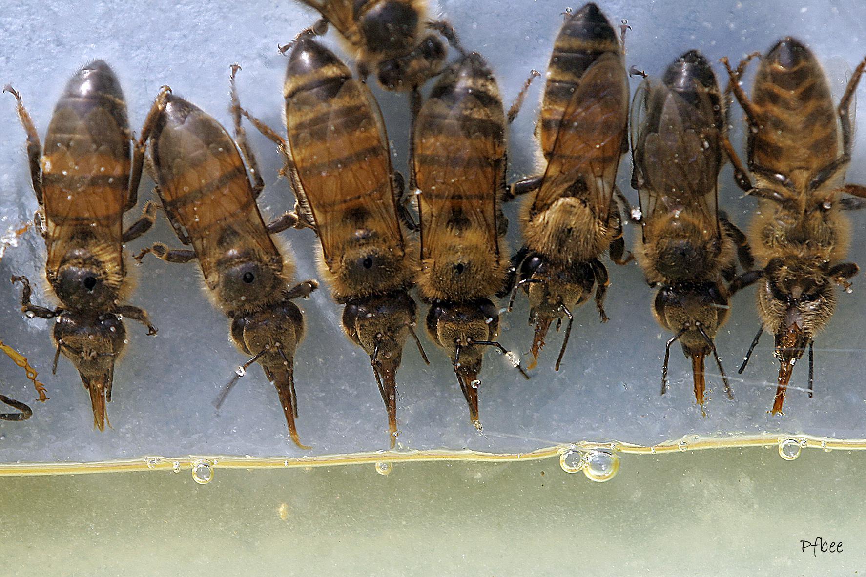 gavage des abeilles